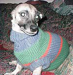 Cookie wearing a sweater